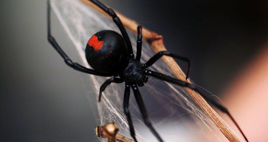 spiders-red-widow-og.jpg
