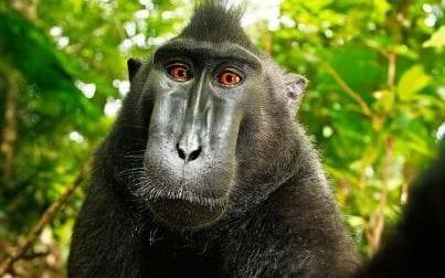 monkey-selfie-large_trans_NvBQzQNjv4BqKkzUGe8q7_A35DWV6BPUcZ9E1YSbayyYXdFdoqgOs48